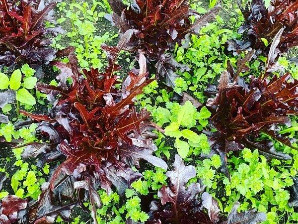 早すぎる梅雨の到来 野菜の傷みが心配|吉野ヶ里あいちゃん農園の画像