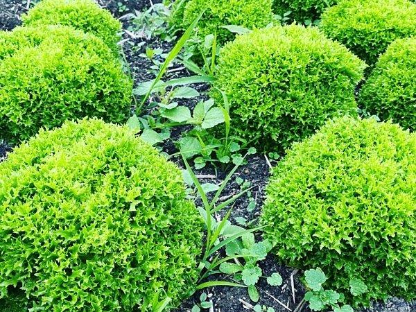 イタリア野菜オークリーフ|吉野ヶ里あいちゃん農園の画像