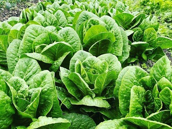 イタリア野菜  ロメインレタス |吉野ヶ里あいちゃん農園の画像