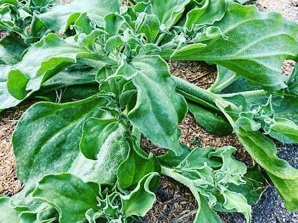 珍しい野菜~アイスプラントの画像
