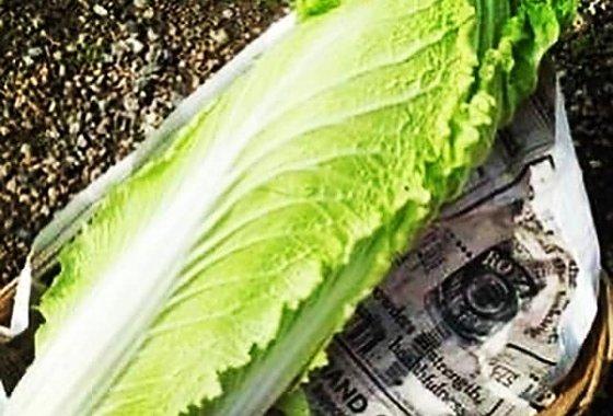 野菜の歴史 タケノコ白菜のイメージ