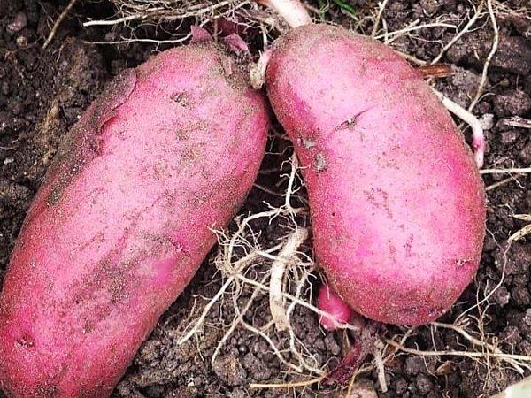 ピンクのジャガイモ~ノーザンルビー|吉野ヶ里あいちゃん農園の画像
