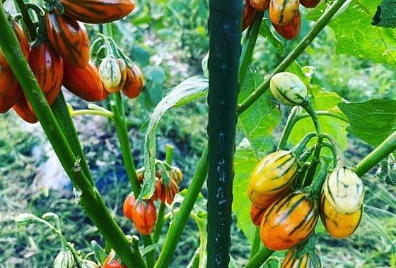 アフリカナス 西洋野菜あいちゃん農園のイメージ