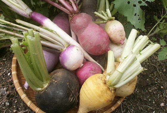カラフル根菜 イタリア野菜あいちゃん農園のイメージ